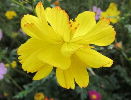 コスモス7 黄色