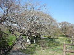 大崎公園の桜の木
