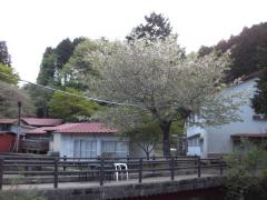 青山荘の桜