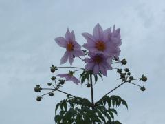 目久尻川沿いに咲く花
