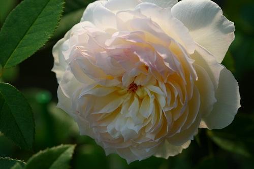 薔薇・ボレロ