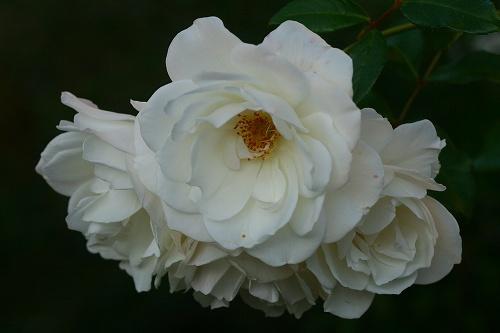 薔薇・アイスバーグ