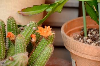 花つきサボテン