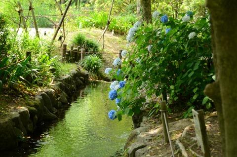 紫陽花(植物園)