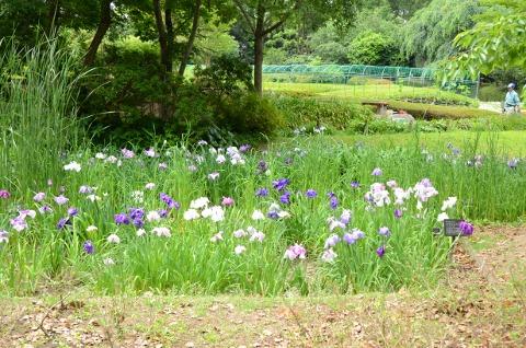 菖蒲(植物園)