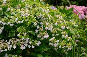 数種の紫陽花