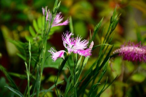 カワラナデシコ 絞り咲き