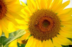 ひまわりとハチ (2)