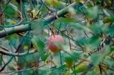 忘れられたリンゴ