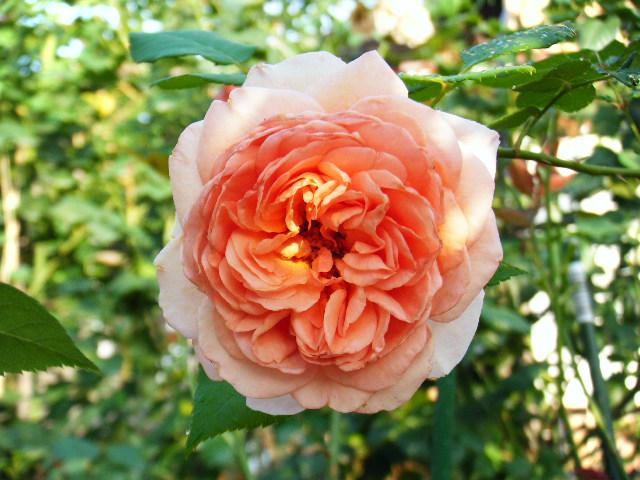 我が家のバラ3