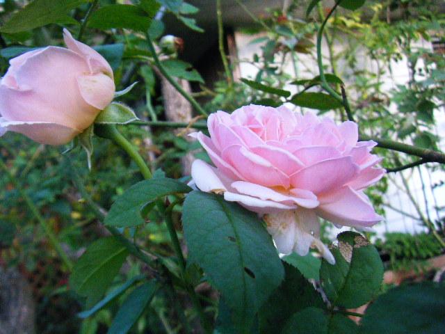 我が家のバラ4