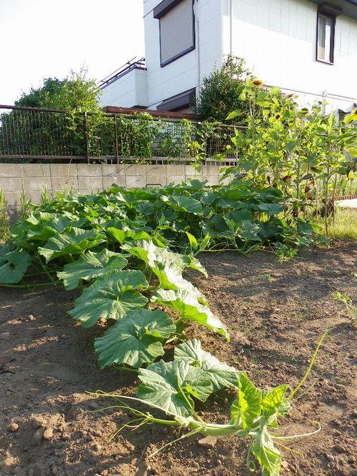 2011 野菜作り 061 81日目-1