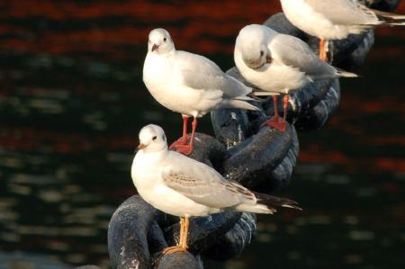 氷川丸にとまる鳥2