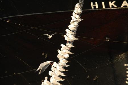 氷川丸にとまる鳥1