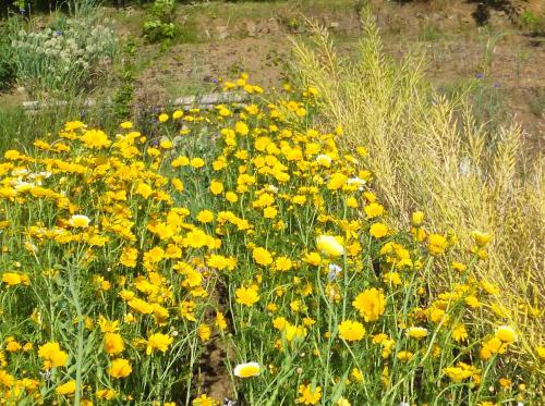 春菊と菜種