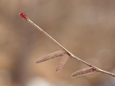 ツノハシバミ冬芽