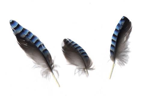 カケス羽毛