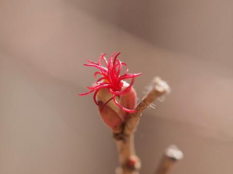ツノハシバミ雌花120419