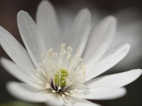 アズマイチゲ花120419