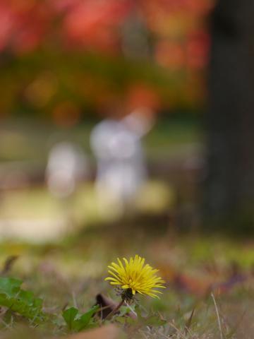 秋のタンポポ