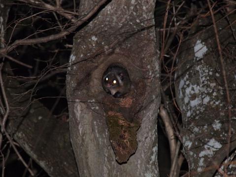 ムササビ樹洞出巣121129