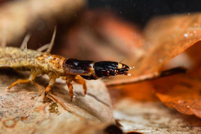 ヤマトクロスジヘビトンボ Parachauliodes japonicus