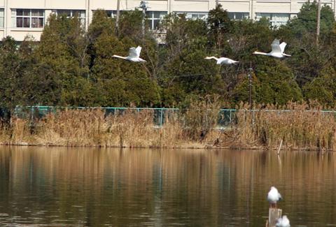 swan101212.jpg