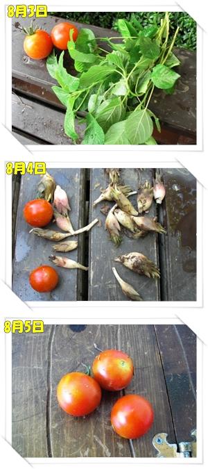 8月3日からの収穫
