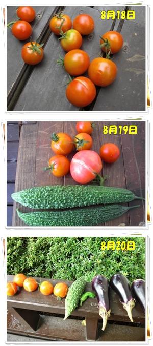 8月18日からの収穫