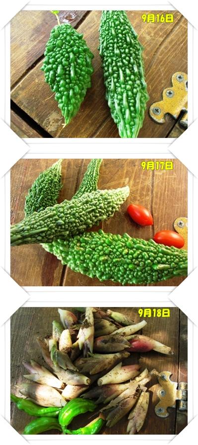 9月16日からの収穫