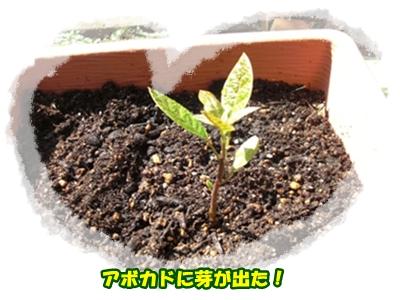 アボカドの芽