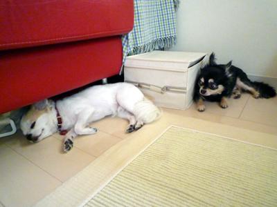 同居犬に時々気づくクミン嬢
