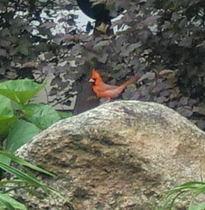 cardinalmale.jpg