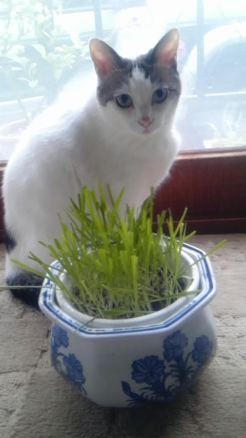 猫の姫さんと猫草