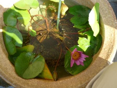 メダカと蓮の花