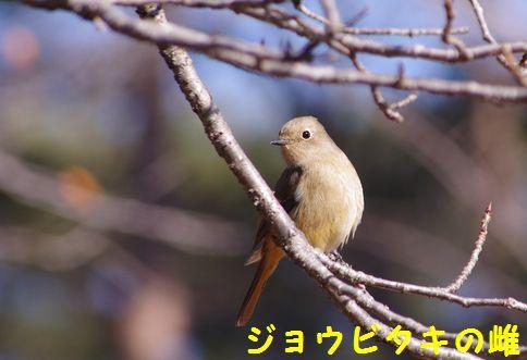 野鳥 2011‐1‐18、21 011