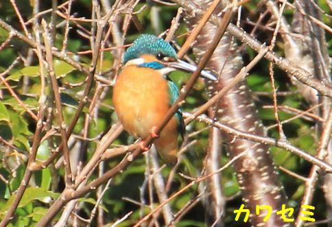 森林公園、桶が谷沼の野鳥 072かわせみ