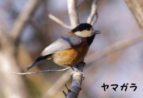 野鳥 2011‐2‐4 002-1
