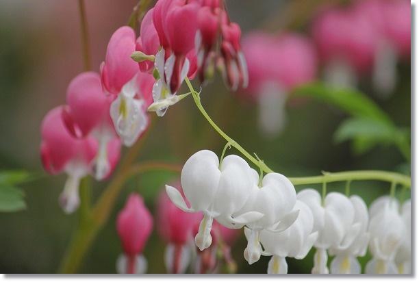 タイツリソウ ピンクと白 1