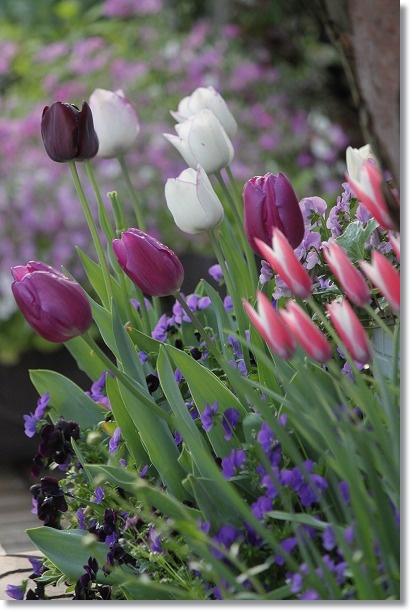 花壇チューリップ 1