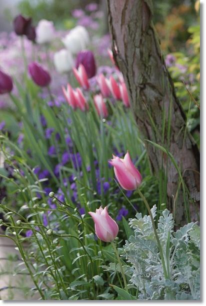 花壇チューリップ 2