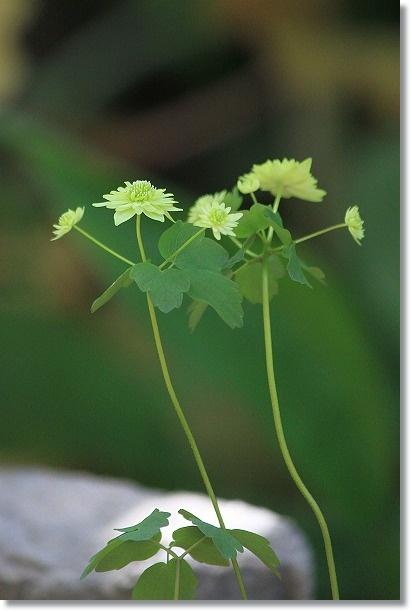 緑八重バイカカラマツ 1