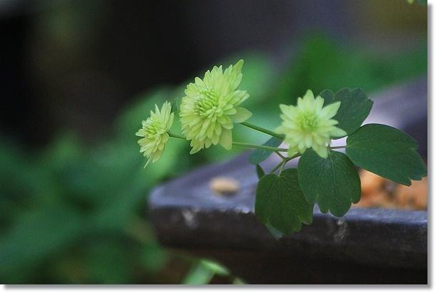 緑八重バイカカラマツ 2