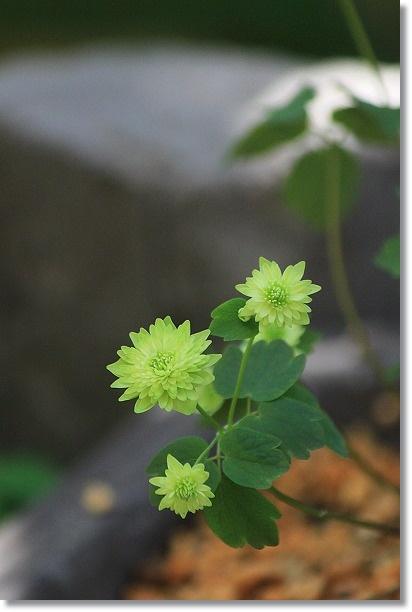 緑八重バイカカラマツ 3