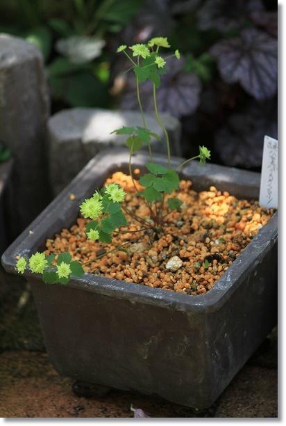 緑八重バイカカラマツ 4
