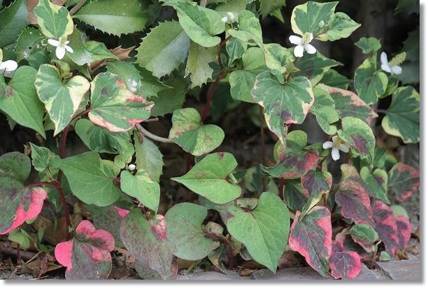 五色葉ドクダミ 3