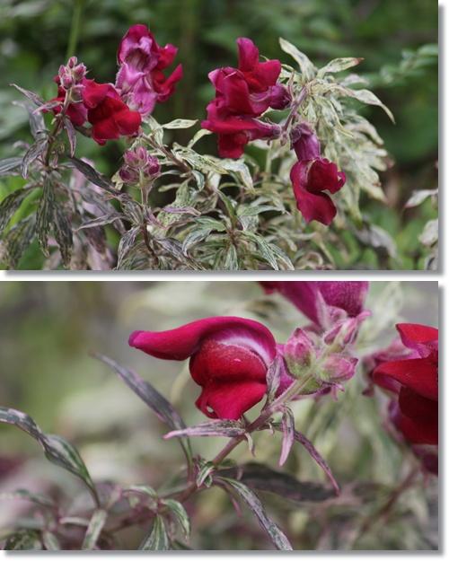 斑入り銅葉キンギョソウ