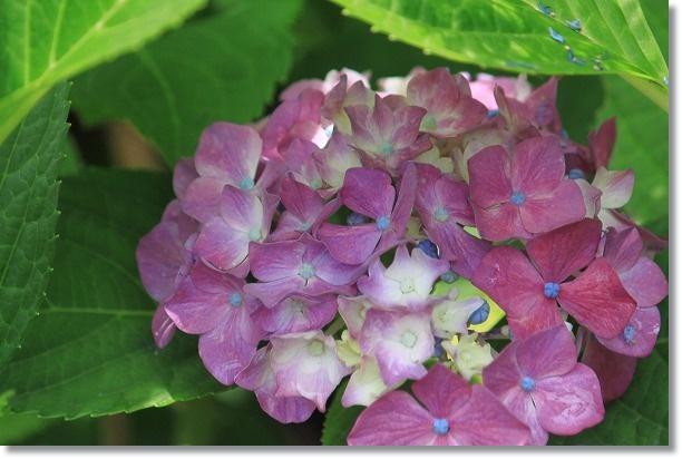 てまり種ピンク 1
