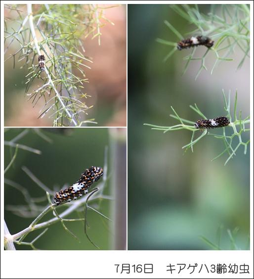 キアゲハ3齢幼虫