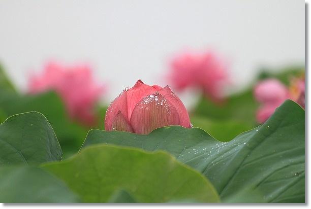 花ハス田 3